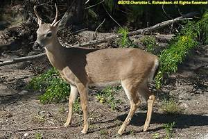 Key Deer Photo Gallery