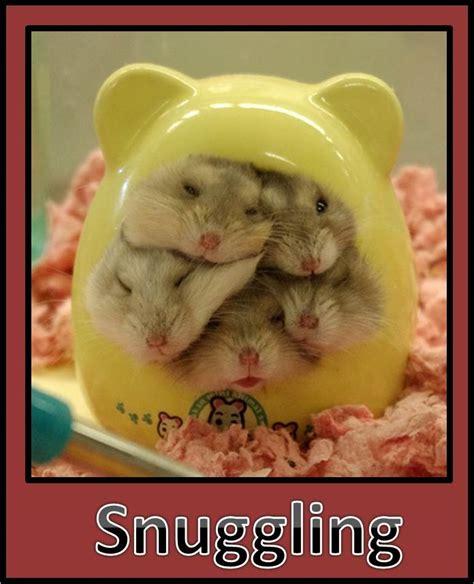 hamsters cuteness overflow