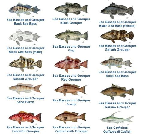 grouper fish species florida fishing snapper keys bass sea chart gag waters scamp reopens beach catching tuna yellowfin hind google