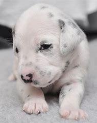 Newborn Dalmatian Puppies