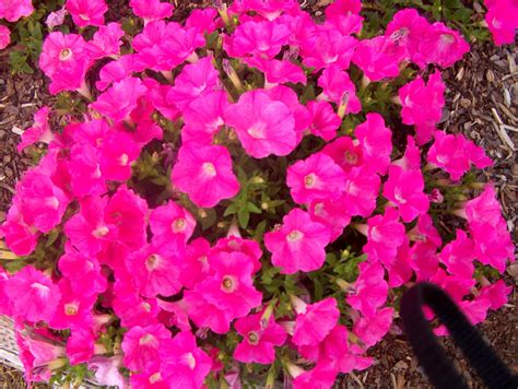 easy wave petunias 4 p petunia easy wave pink wheaton garden club