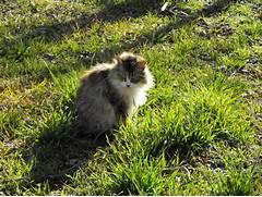 Fluffy Calico Cat Fluf...Fluffy Dilute Calico Cat