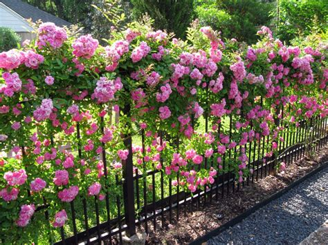 growing climbers for fences seven tips for growing climbing roses romantic rose and gardens