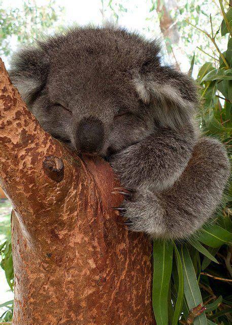 cute koala sleeping  tree luvbat