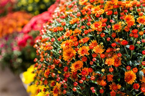 fall mums keep your potted mums thriving this fall farmers almanac