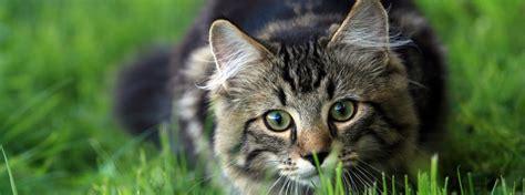 tabby cat ready  pounce