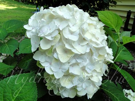 what is a hydrangea flower macrophylla variety rounded flowers hydrangeas blue page 3