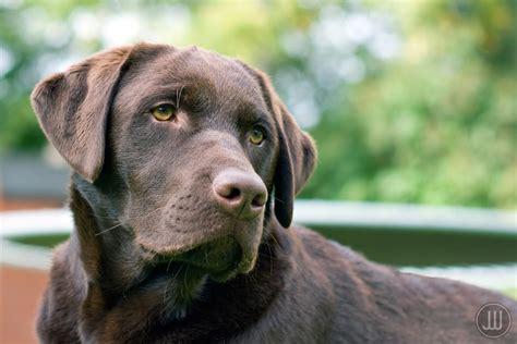 Labrador Retriever Vs. Golden Retriever