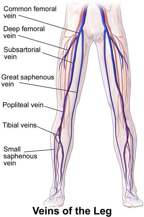 anterior tibial vein wikipedia