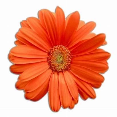 Gerbera Flowers Flower Daisy Daisies Gerber Wallpapers