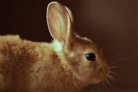 animale da cortile coniglio animale da compagnia contro la solitudine