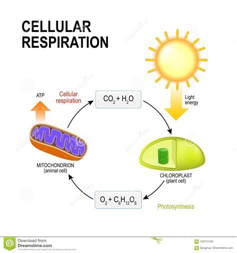 cellular respiration connecting cellular respiration