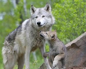 Bébé Loup Blanc : t l charger 1280x1024 animaux de b b loups fond d 39 cran ~ Farleysfitness.com Idées de Décoration