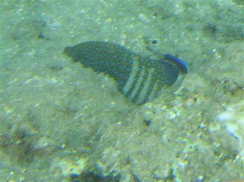 hawaii fish grouper