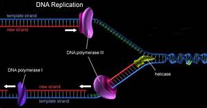 Unseen Rare Collection  Dna Structure Strand Replication