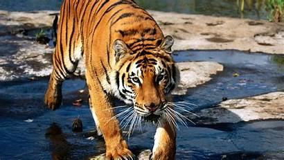 Tiger 1080p Wallpapers