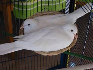 Graines Oiseaux Du Ciel : oiseau colombe blanche graines pour oiseaux du ciel jitep ~ Melissatoandfro.com Idées de Décoration