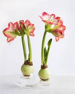 Amaryllis Im Glas : amaryllis tipps zum einpflanzen und pflege ~ Eleganceandgraceweddings.com Haus und Dekorationen