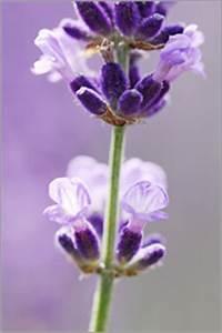 Echter Lavendel Kaufen : lavendel poster ab 5 95 online kaufen gratisversand posterlounge ~ Eleganceandgraceweddings.com Haus und Dekorationen