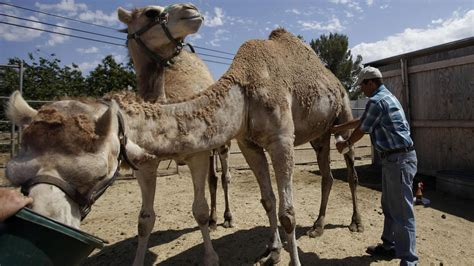 Socal Man Opens First Camel Dairy Farm In Us