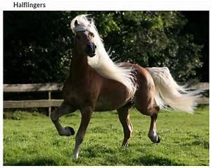 Combien De Chevaux : magnifique cheval l 39 halflingers ~ Medecine-chirurgie-esthetiques.com Avis de Voitures
