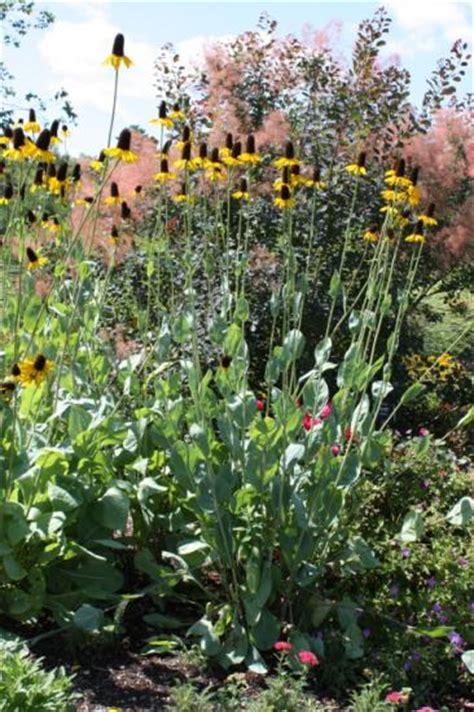 black eyed susan umass amherst greenhouse crops