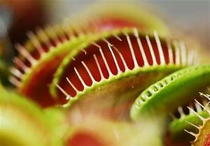 Fleischfressende Pflanze Pflege : fleischfressende pflanzen exoten f r ihr zuhause ~ A.2002-acura-tl-radio.info Haus und Dekorationen