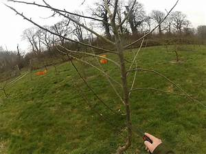 Pruning A Young Apple Tree That Is Too Tall
