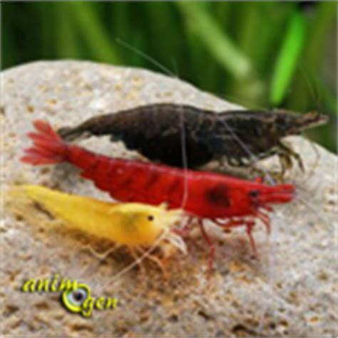 crabes crevettes et 233 crevisses des crustac 233 s en aquarium d eau douce une m 233 connue