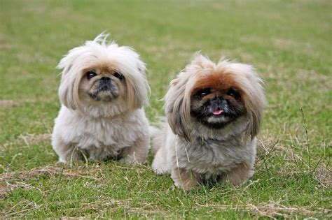 charming chinese dog breeds  dogs  china