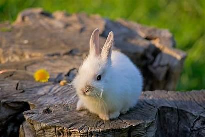 Bunnies Animals Wallpapers Rabbit Pets Fluffy Definition
