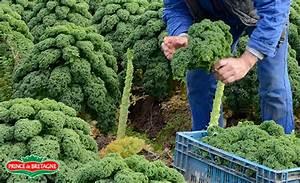 Planter Des Choux Fleurs : comment planter kale ~ Melissatoandfro.com Idées de Décoration