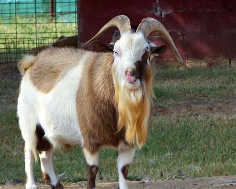 goats beard goat face beard