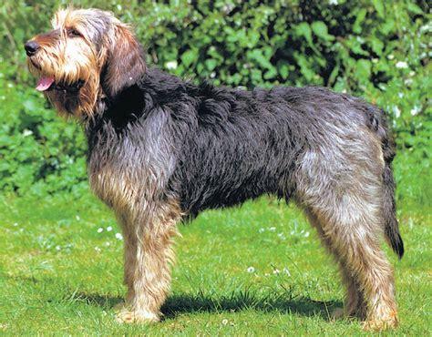 no shed dogs for adoption 16 no shed rescue blue labrador retriever