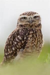 Our small breeding owls   Owl breeder Wings - Owl Owls ...