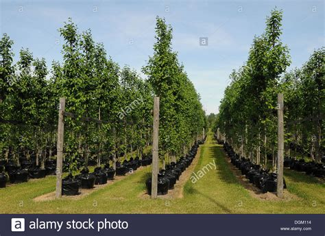 tree nurseries tree nursery trees in pots beech trees fagus publicground stock photo royalty free image