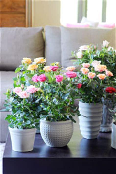 cultivez un rosier en pot sur un balcon gamm vert