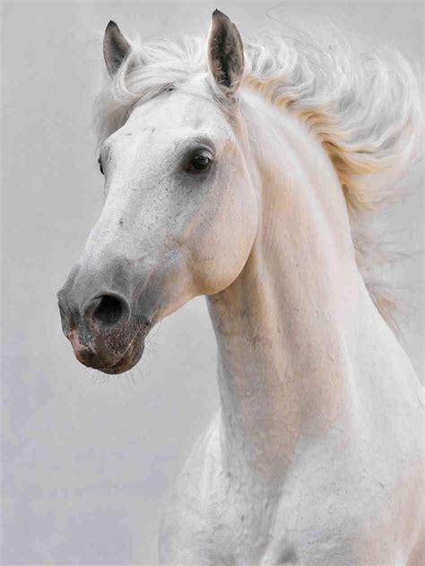 horse horses face head wedding npr pretty bailey summer equine makarova viktoria istockphoto via stallion painting drawing prettier goth bella