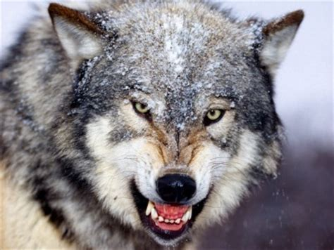 types  wolves types