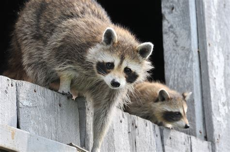 Raccoon Backyard by Raccoons How To Identify And Get Rid Of Raccoons In The