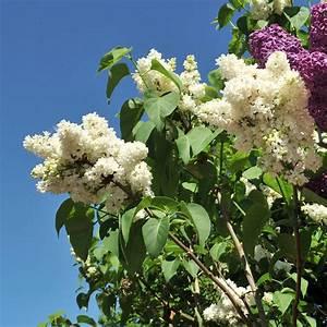 Wann Blüht Flieder : naturagart shop flieder wei online kaufen ~ Lizthompson.info Haus und Dekorationen