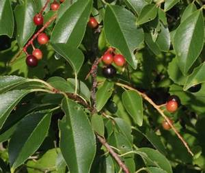 Prunus serotina - Black Cherry