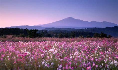 「鳥海山とコスモス」秋田 由利本荘市 秋田 神秘的 花言葉