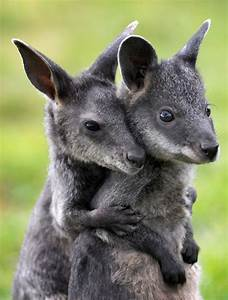 Cute animal pictures - Wallabies - goodtoknow