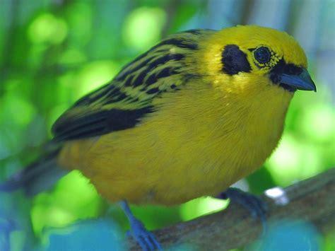 file yellow bird jpg wikipedia