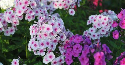 Augusta dārza valdnieki flokši - kā tos pareizi audzēt - DELFI