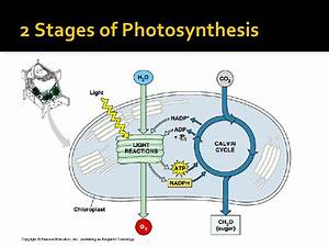 Photosynthesis Light Reaction