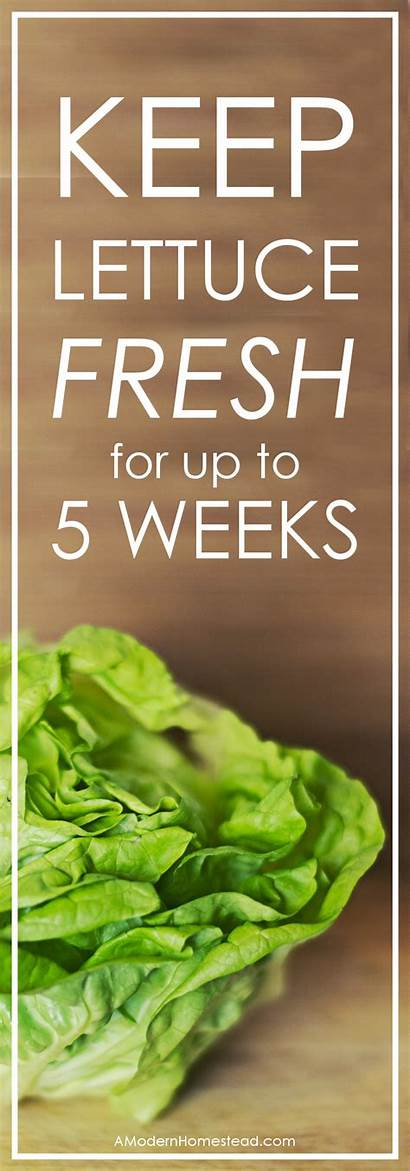 Lettuce Fresh Keep Recipes Weeks Five Amodernhomestead