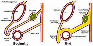 Gastrocolic Ligaments