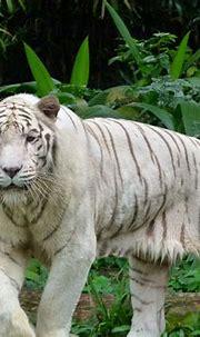 White tiger Singapore Zoo | Singapore zoo, White tiger ...